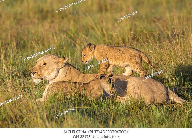 African Lion (Panthera leo) female with cubs, Maasai Mara National Reserve, Kenya, Africa