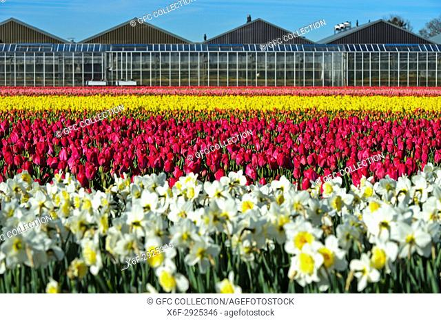 Cultivation of daffodils and tulips for the production of flower bulbs in the Bollenstreek area, plant nursery behind, Noordwijkerhout, Netherlands