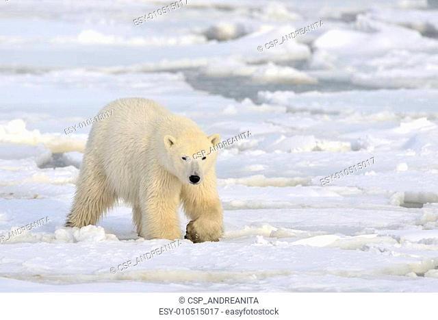 Polar bear walking on pack-ice