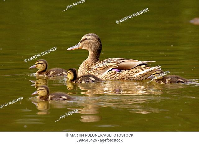 Mallard(Anas platyrhynchos), female with ducklings. Bavaria, Germany, Europe