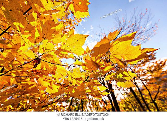 Colorful autumn foliage as leaves change colors along the Blue Ridge National Park near Asheville, North Carolina