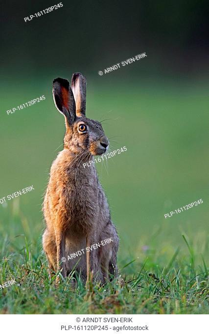 European Brown Hare (Lepus europaeus) sitting in grassland