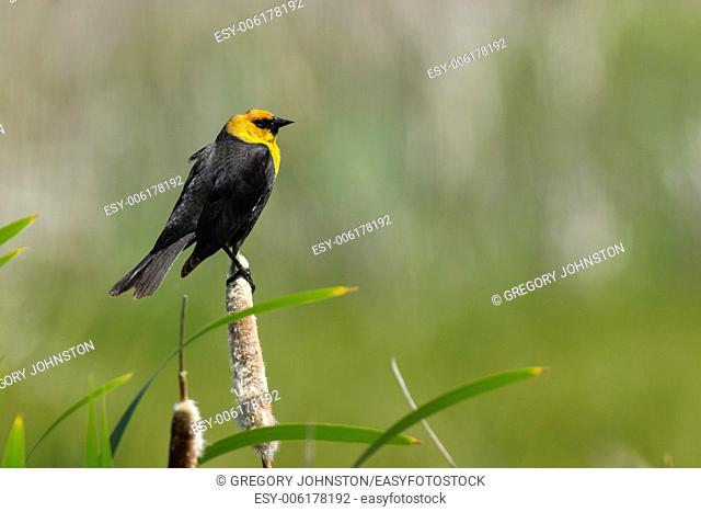A yellow headed blackbird is perched on a cattail at the National Elk and Bison Range in Montana