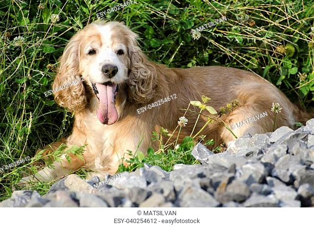 Blonde cocker spaniel dog lying in the green grass and stones