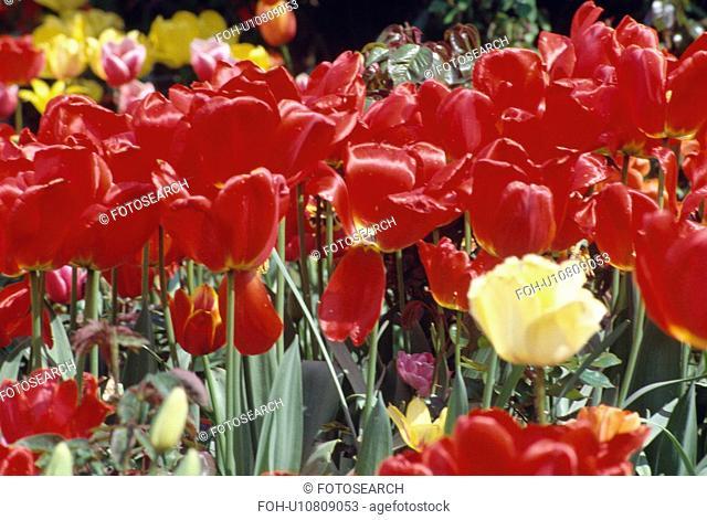 Still-life of red tulips in Spring border&#10