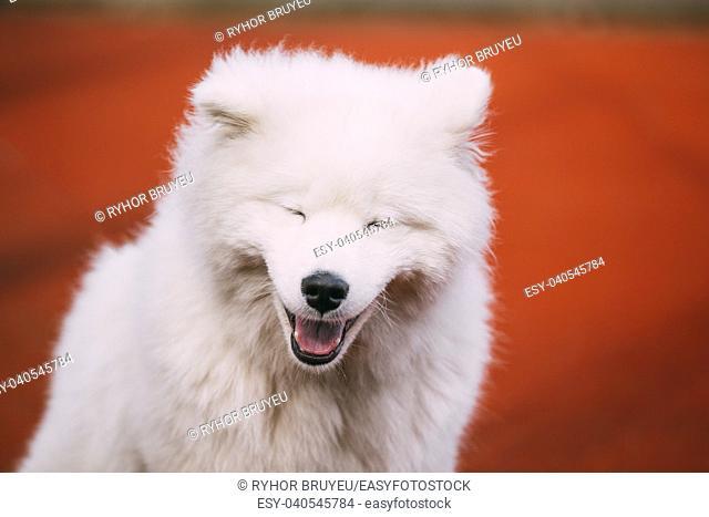 Close Up Of Happy Smiling Young White Samoyed Dog