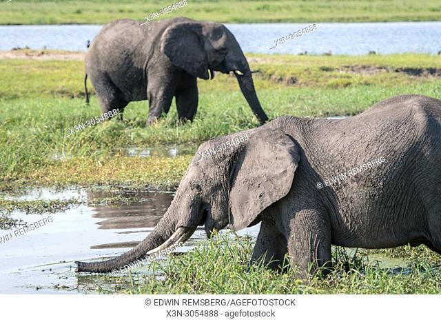 Two African bush elephants (Loxodonta africana) wade through the marshy waters at the Chobe National Park - Botswana