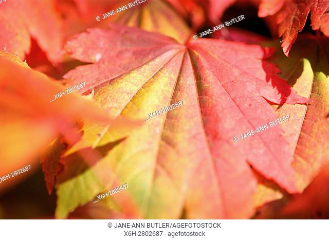 Acer Japonicum Full Moon Maple close up, leaves changing colour in Autumn