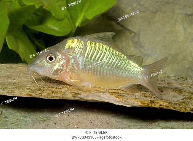 Short bodied catfish (Brochis splendens), swimming
