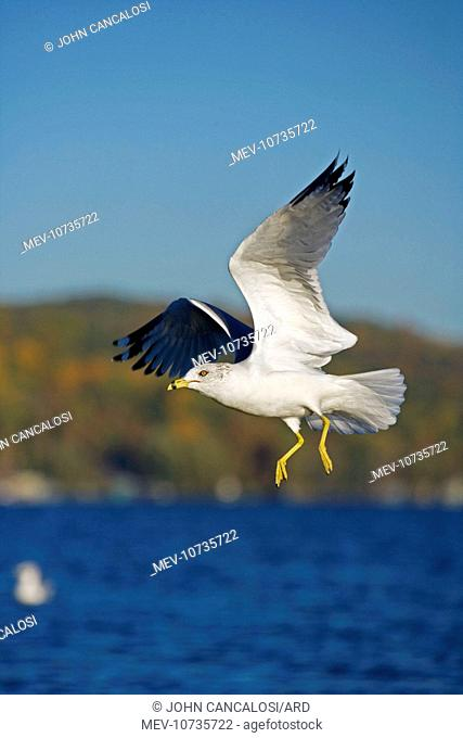 Ring-billed Gull - adult taking off from lake (Larus delawarensis)