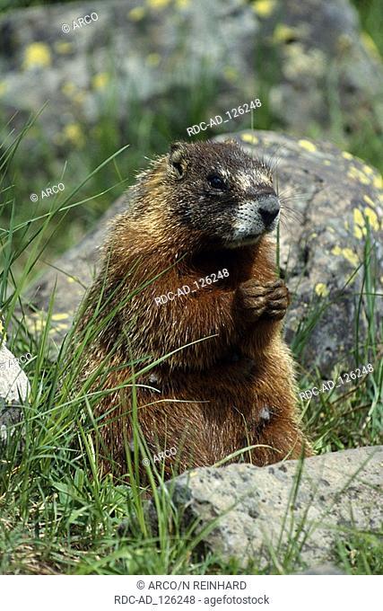 Yellow-bellied Marmot Wyoming USA Marmota flaviventris