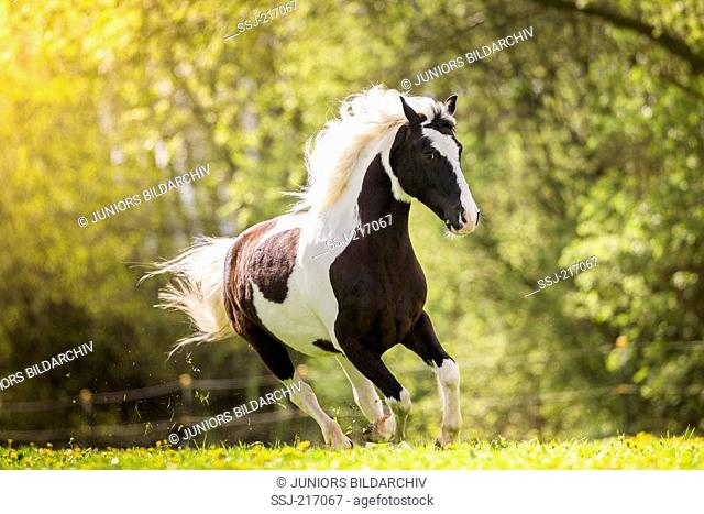 Gypsy Cob x ?. Piebald gelding galloping on a pasture. Germany