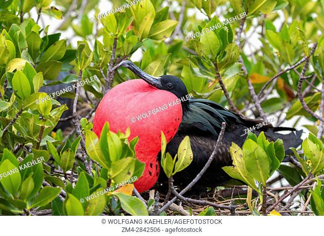 A male frigate bird with inflated throat pouch (breeding season) on Genovesa Island (Tower Island) in the Galapagos Islands, Ecuador