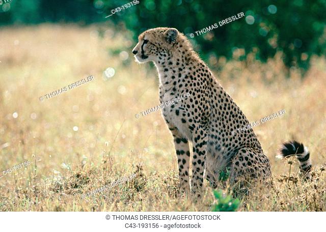 Cheetah (Acinonyx jubatus). Masai Mara National Reserve. Kenya