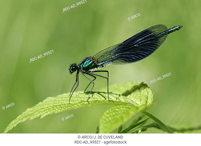 Banded Blackwing male Hamburg Germany Calopteryx splendens Agrion splendens side