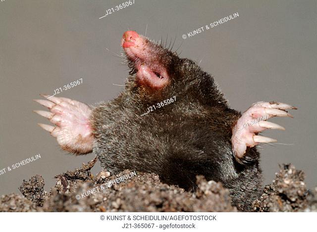Mole (Talpa europaea). Bavaria, Germany