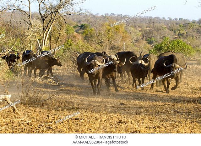 African 'Cape' Buffalo (Syncerus caffer), herd, Mala Mala Game Reserve, South Africa