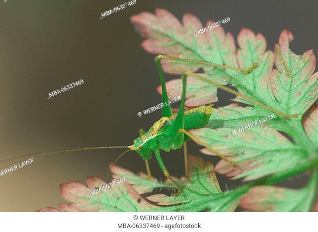 great green bush cricket, Tettigonia viridissima