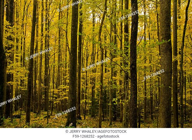 Autumn Forest, Great Smoky Mountains NP, TN-NC