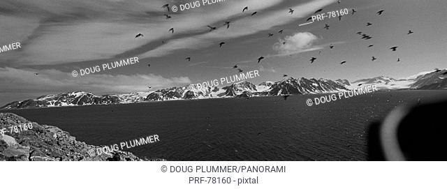 Dovekie Colony Svalbard Norway
