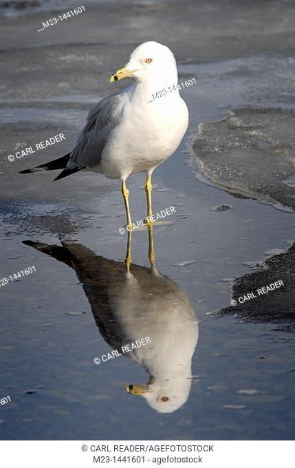 A ring-beaked gull, larus delawarensis , wades through melting ice, Pennsylvania, USA