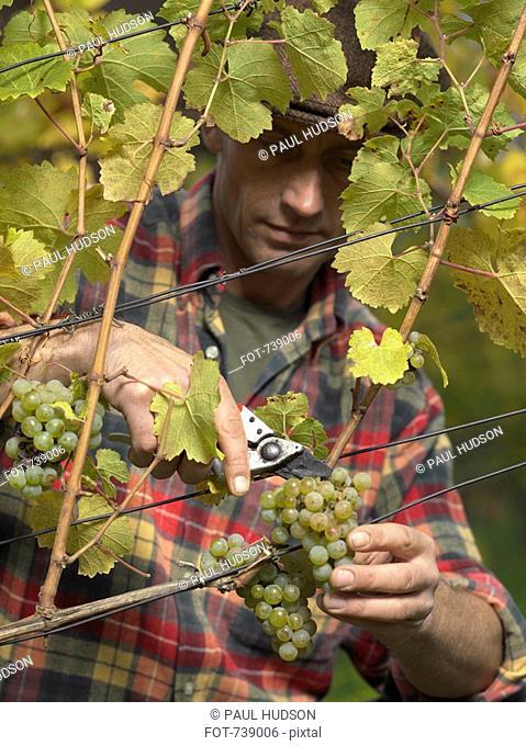 A vintner harvesting grapes