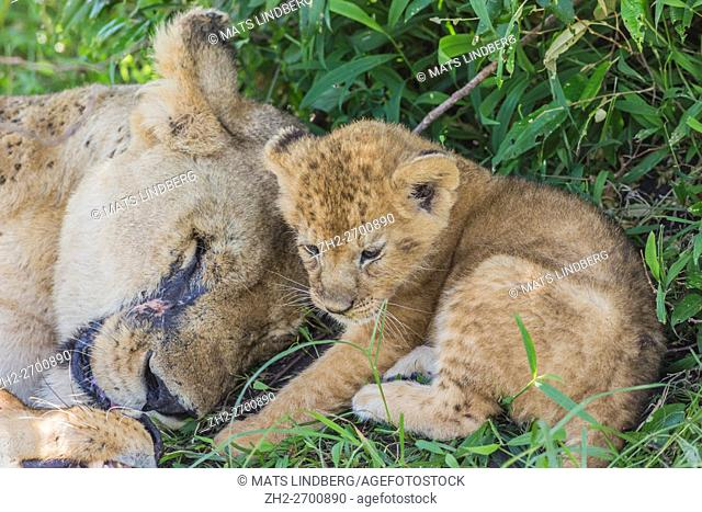 Lioness with a cub lying and resting uner a tree on the savanna in Masai Mara, Kenya, Africa