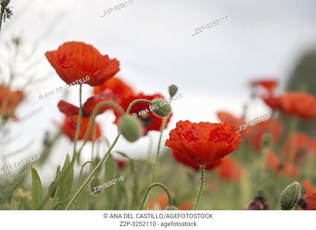 Poppie field in Matarrana county Teruel Aragon Spain