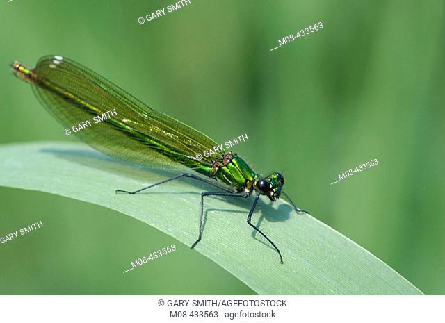 Banded Demoiselle (Calopteryx splendens) female perched on phragmites