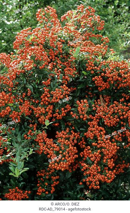 Firethorn with berries 'Red Column' Pyracantha spec