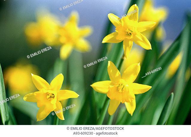 Narcissus (Narcissus sp.)