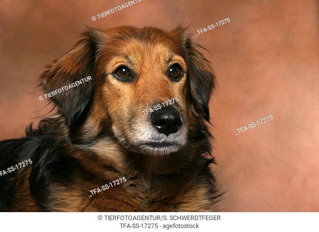 dachshund-mongrel portrait