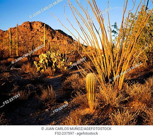 Saguaro National Park in Sonora desert. Arizona. USA