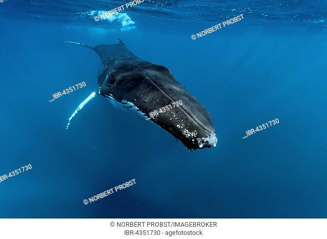 Humpback whale (Megaptera novaeangliae), male, in the open sea, Silver Bank, Silver and Navidad Bank Sanctuary, Atlantic Ocean, Dominican Republic