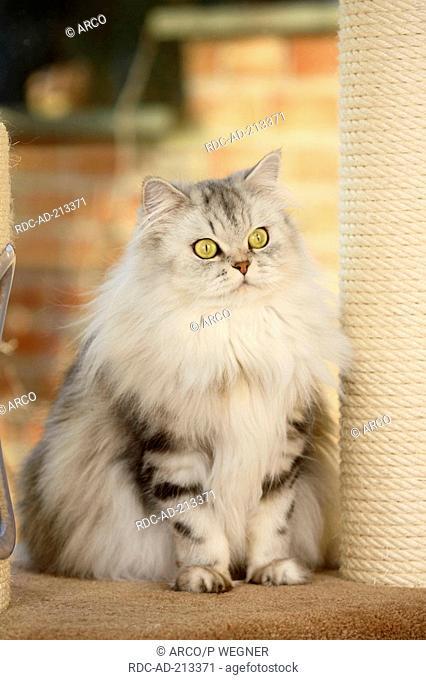 British Longhair Cat, black silver tabby classic, Highlander, Lowlander, Britanica