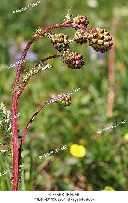 Salad burnet, Sanguisorba minor / Kleiner Wiesenknopf, Sanguisorba minor