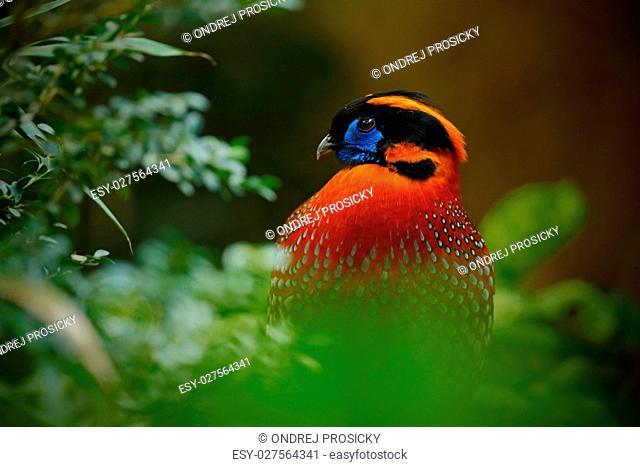 Exotic bird from Asia. Temminck's Tragopan, Tragopan temminckii