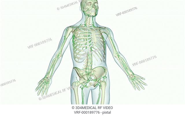 An animation of the superficial inguinal nodes. The camera zooms in to show an anterior view of the pelvis. A superficial inguinal node is highlighted