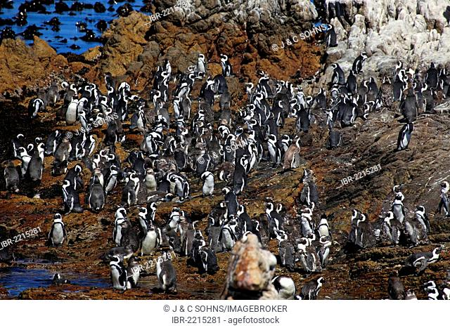 Jackass Penguins, African Penguins or Black-Footed Penguins (Spheniscus demersus), colony perched on rocks, Betty's Bay, Western Cape, South Africa, Africa