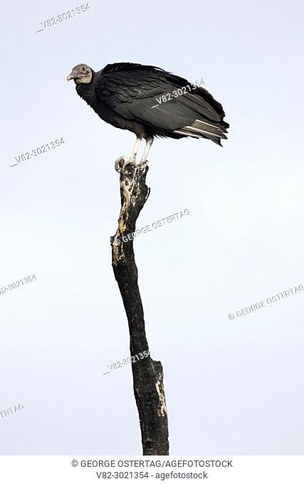Black vulture (Coragyps atratus), Merritt Island National Wildlife Refuge, Florida