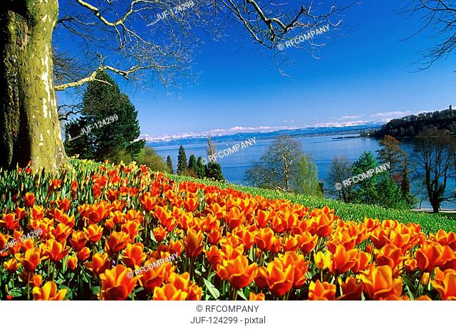 field with tulips : Mainau island