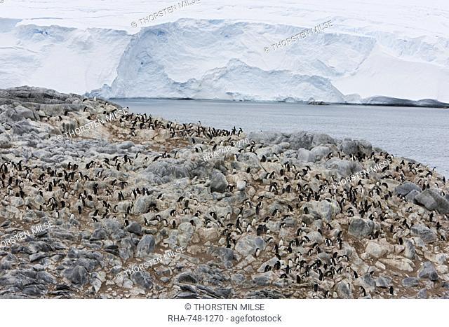 Adelie penguin colony Pygoscelis adeliae, Commonwealth Bay, Antarctica, Polar Regions