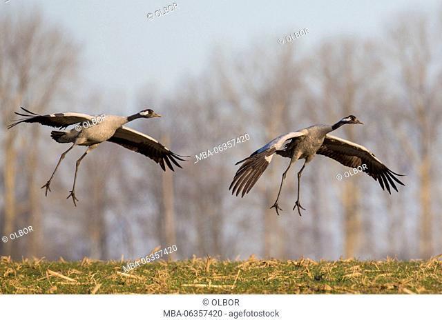 Cranes, Grus grus, landing on a field