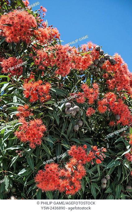 Flowering gum (Eucalyptus or Corymbia ficifolia), an Australian native tree