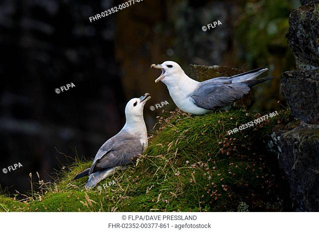 Northern Fulmar (Fulmarus glacialis) adult pair, displaying cackling call on cliff ledge, Handa, Sutherland, Scotland, August