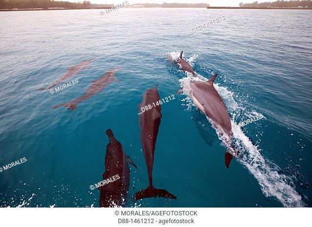 Hawaï , Midway , Eastern Island , Spinner Dolphin Stenella longirostris, order : Cetacea , family : Delhinidae