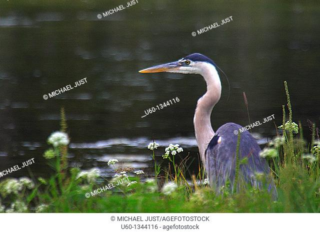A Great Blue Heron fishes along the Firehole River at Yellowstone National Park