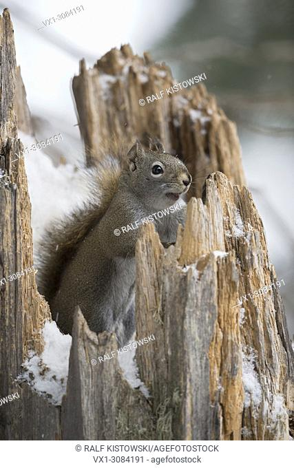 American Red Squirrel / Pine Squirrel ( Tamiasciurus hudsonicus ), in winter, sitting in, hiding in, watching out of a snow covered tree stump, Wyoming, USA