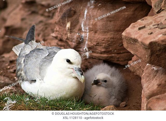 Fulmar BIRDS ORKNEY Fulmar Fulmarus glacialis cliff nest with baby chick Hoy Orkney