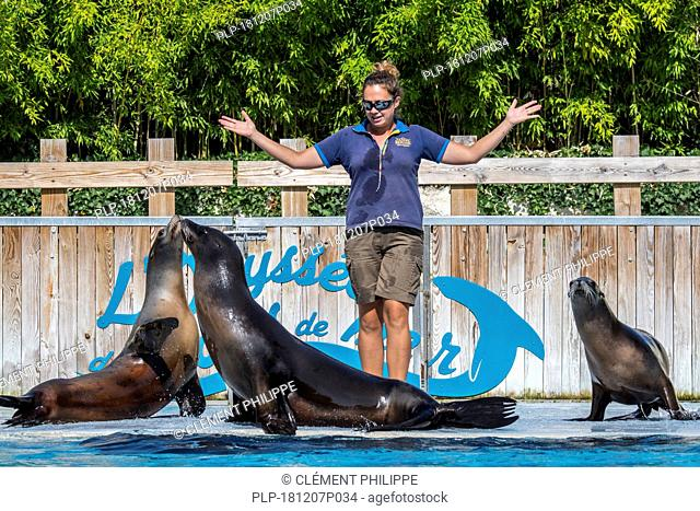 Three California sea lions (Zalophus californianus) performing with zookeeper at the French zoo ZooParc de Beauval, France